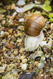 Roman, Burgundian or Edible Snail (Helix pomatia) Royalty Free Stock Photos