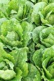 Roman cabbage Royalty Free Stock Image