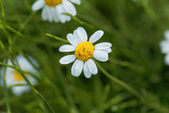 Roman chamomile, Chamaemelum nobile. Flower of a Roman chamomile, Chamaemelum nobile royalty free stock photo