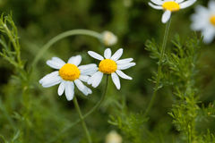 Roman chamomile, Chamaemelum nobile. Flower of a Roman chamomile, Chamaemelum nobile stock photos