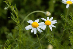 Roman chamomile, Chamaemelum nobile. Flower of a Roman chamomile, Chamaemelum nobile royalty free stock photography
