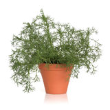 Roman Chamomile Herb Plant Stock Photo