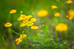 Roman chamomile yellow flowers Royalty Free Stock Photo