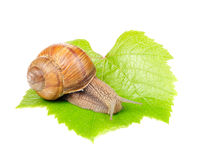 Roman (Edible) Snail on Grape Leaf Stock Photos