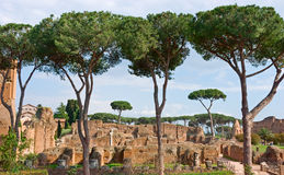 Roman forum. Pine trees of Roman forum, Rome, Italy Stock Photos
