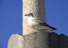 Roman forum rome Italy archaeology ruins seagull trajan's column. Roman forum rome Italy archaeology ruins historic landmark empire column antiquity seagull Royalty Free Stock Photography