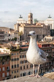 Roman Forum Seagull Stock Photos