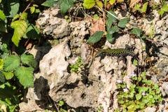 Roman Lizard Stock Photos