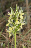 Roman Orchid Stock Photography
