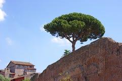 Roman oude muur met pijnboom Stock Foto