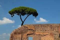 Roman pine Stock Photo