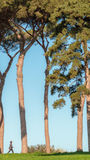 Roman Pine Trees Royalty Free Stock Photography