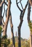 Roman Pine Trees Royalty Free Stock Photo