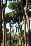 Roman Pine Trees Stock Photos