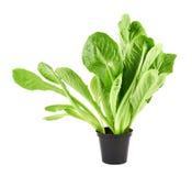 Roman salad lettuce leaves isolated Stock Image