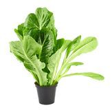Roman salad lettuce leaves isolated Stock Photography