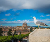 Roman seagull Stock Photos
