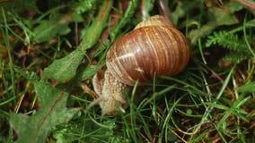 Roman slak van schroefpomatia is de ook, de slak van Bourgondië, eetbare slak of escargot, species van groot, eetbaar, aëroob stock videobeelden