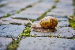Roman Snail Images libres de droits