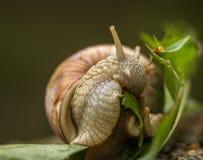 Roman snail aka Burgundy snail - Helix pomatia - eating a green leaf royalty free stock photography