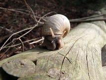 Roman snail, Burgundy snail, Edible snail,. Helix pomatia Royalty Free Stock Photos
