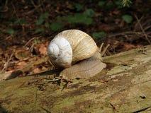 Roman snail, Burgundy snail, Edible snail,. Helix pomatia Royalty Free Stock Images
