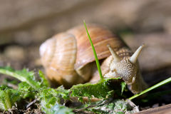 Roman snail eating green leaf. Edible Roman snail (Helix pomatia) eating green leaves in a garden Stock Image