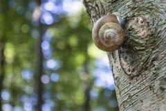 Roman Snail en un tronco del árbol Fotos de archivo