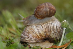 Roman snail family Stock Photography