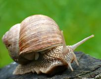 Roman snail in garden Royalty Free Stock Photography