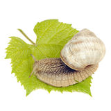 Roman Snail on Grape Leaf Isolated on White Background Royalty Free Stock Photography