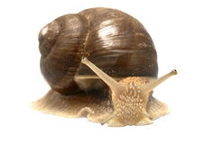 Roman snail (Helix pomatia) Royalty Free Stock Photography