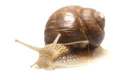 Roman snail (Helix pomatia). Isolated photo of snail with work path Stock Images