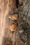 Two Burgundy snails Helix, Roman snail, edible snail, escargot. Roman Snail - Helix pomatia. Helix pomatia, common names the Roman, Burgundy, Edible snail or Royalty Free Stock Photo