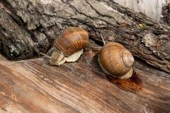 Two Burgundy snails Helix, Roman snail, edible snail, escargot. Roman Snail - Helix pomatia. Helix pomatia, common names the Roman, Burgundy, Edible snail or Stock Photos