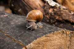 Close up view of Burgundy snail Helix, Roman snail, edible snai. Roman Snail - Helix pomatia. Helix pomatia, common names the Roman, Burgundy, Edible snail or Royalty Free Stock Images