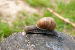 Close up view of Burgundy snail Helix, Roman snail, edible snai. Roman Snail - Helix pomatia. Helix pomatia, common names the Roman, Burgundy, Edible snail or Stock Photography
