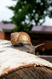 Burgundy snail Helix, Roman snail, edible snail, escargot craw. Roman Snail - Helix pomatia. Helix pomatia, common names the Roman, Burgundy, Edible snail or Stock Photos