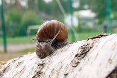 Burgundy snail Helix, Roman snail, edible snail, escargot craw. Roman Snail - Helix pomatia. Helix pomatia, common names the Roman, Burgundy, Edible snail or Royalty Free Stock Image