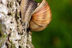 Roman Snail (Helix pomatia, Weinbergschnecke) crawling down a tree trunk.  royalty free stock photography