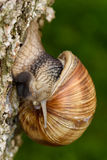 Roman Snail (Helix pomatia, Weinbergschnecke) crawling down a tree trunk Stock Images