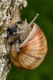 Roman Snail (Helix pomatia, Weinbergschnecke) crawling up a tree trunk.  stock images
