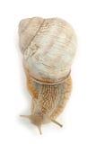 Roman Snail Isolated auf weißem Hintergrund Lizenzfreie Stockfotografie