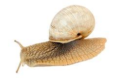 Roman Snail Isolated de rastejamento no fundo branco Imagem de Stock Royalty Free