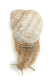 Roman Snail Isolated sur le fond blanc Photographie stock libre de droits