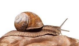 Roman snail Stock Photo