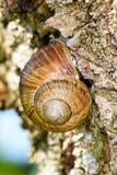 Roman Snail (Schnecken-pomatia, Weinbergschnecke) stillstehend auf einem Baumstamm, um sich für die Sonne zu schützen Stockfotografie