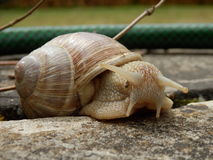 Roman Snail Royalty Free Stock Photography