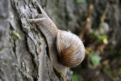 Roman snail on tree close up Royalty Free Stock Photos