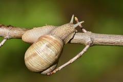 Roman snail Royalty Free Stock Image
